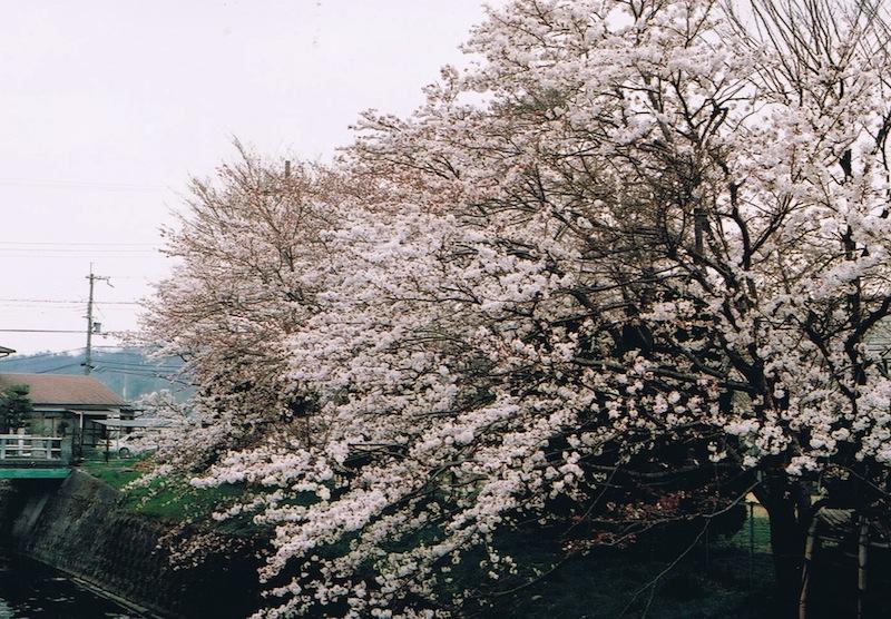 廿日田公園の桜