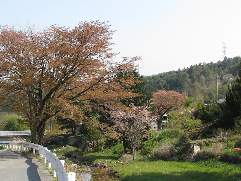 カフェ・ベルグの前の山桜
