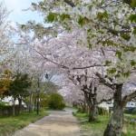 有馬川沿い満開の桜