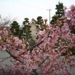 城の垣内稲荷神社横の河津桜