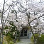 城の垣内神社散り始め