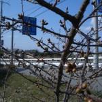 3月15日河津桜