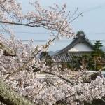 有馬川の桜と明徳寺