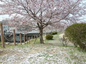 有馬川の桜