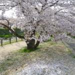 有馬川沿いソメイヨシノ桜の花じゅうたん