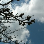 金仙寺湖の桜