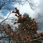 有馬川緑道の桜