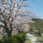 金仙寺湖の桜。後ろは丸山