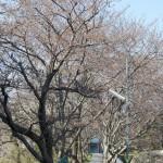 2012年4月4日 下山口さくら道