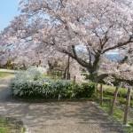 有馬川沿いのソメイヨシノ桜散り始め