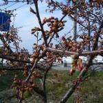 120330河津桜