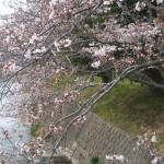 有馬川沿いの桜