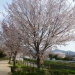 有馬川沿い満開の山桜