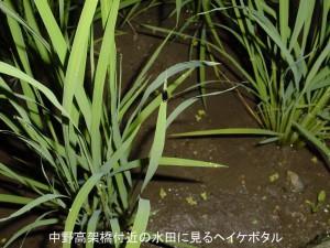 中野の水田に見るヘイケボタル