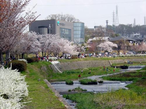 桜の有馬川緑道と有馬川
