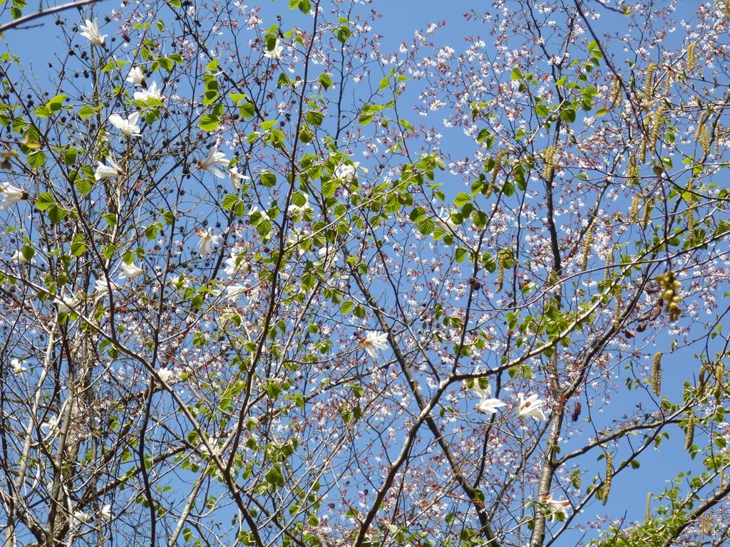 山桜とたむしば