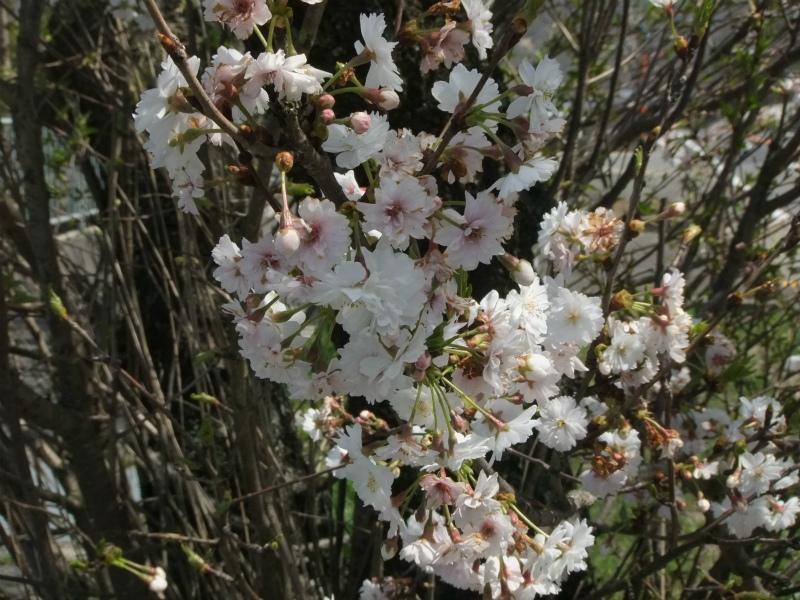 金仙寺 子福桜