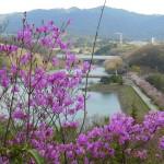 金仙寺湖湖畔の桜落下