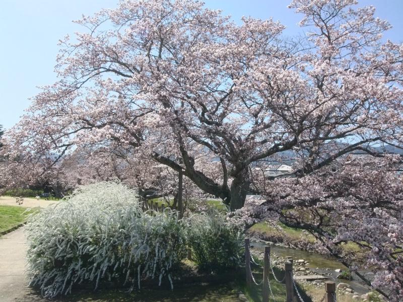 有馬川緑道の桜樹