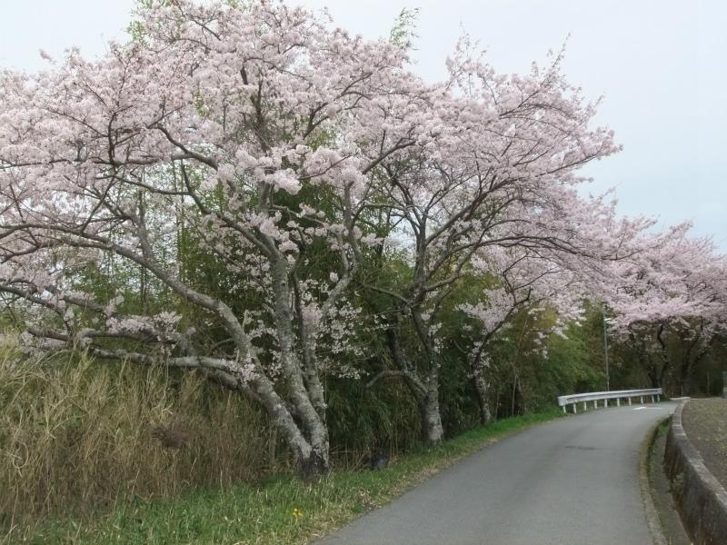城の垣内稲荷神社の有馬川緑道の桜並木405
