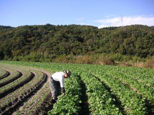 今も続く野菜の栽培