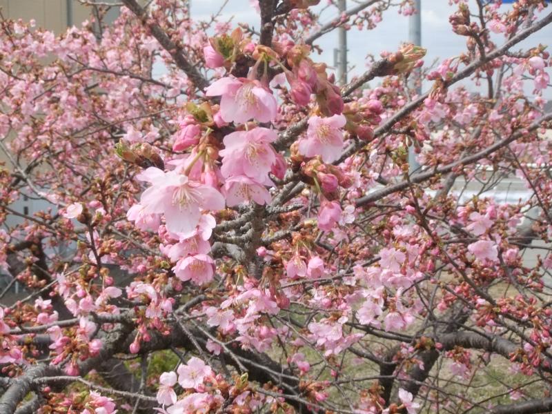 城の垣内稲荷神社 河津桜
