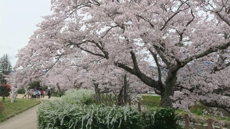 桜情報2017