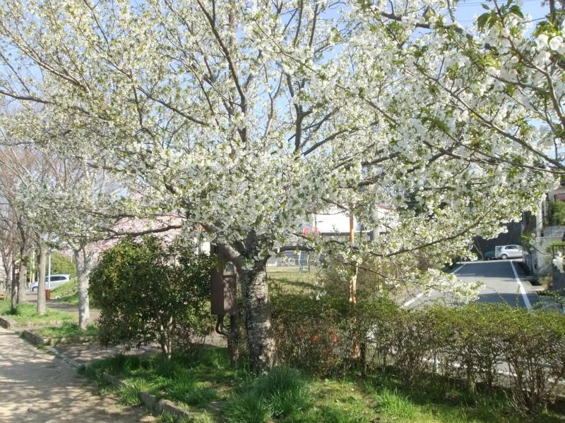 ヤマザクラが咲き始めました