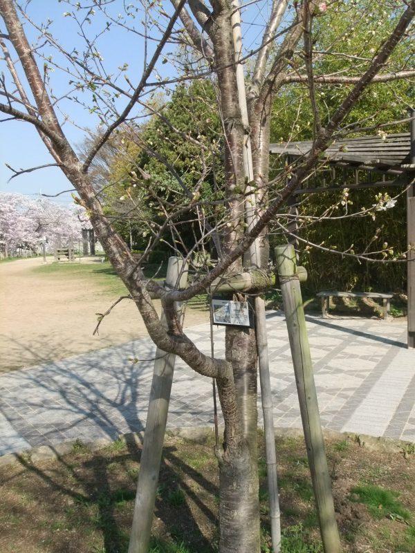 西宮権現平桜