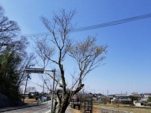 金仙寺子福桜