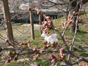 有馬川緑道 開花