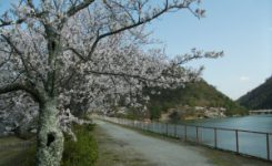 丸山ダムの桜