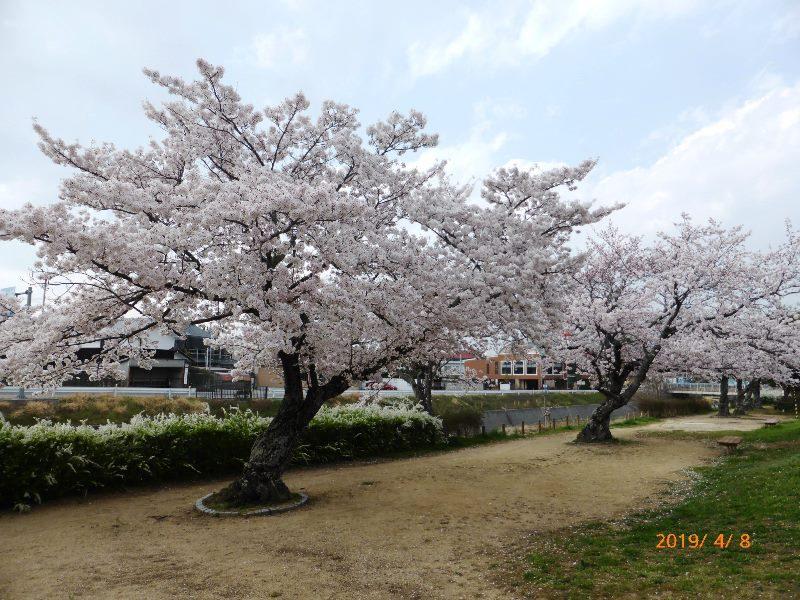 山口春道公園 2019.4.8 満開